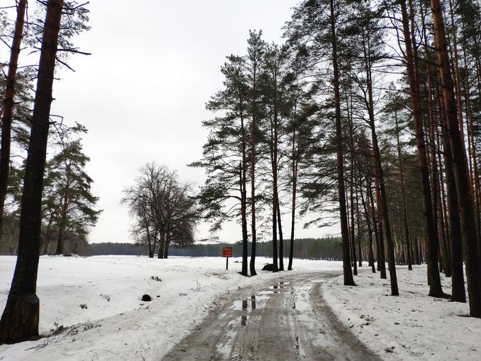 Springtime March Forest Springforestandlake Tree Snow Cold Temperature Winter Road Forest Pinaceae Weather Pine Tree Sky