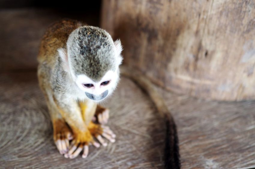 Colombia Amazon Leticia Latinoamerica Southamerica Jungle Junglefever Monkeys Monkeylove Cute Perspective One Animal Animal Wildlife Animal Themes Animals In The Wild Close-up Sitting Nature Outdoors