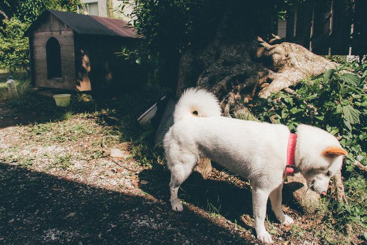 Shiba inu standing at yard
