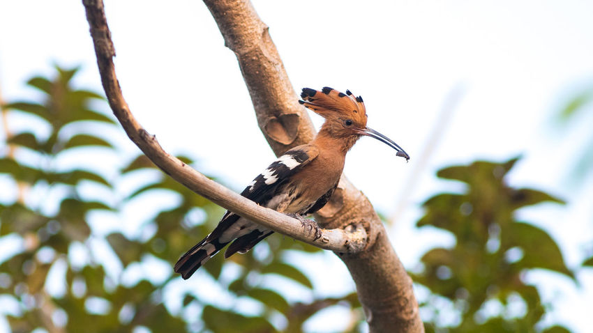 Common Hoopoe bird in nature. Animal Themes Animal Wildlife Animals In The Wild Bird Branch Close-up Day Focus On Foreground Low Angle View Nature No People One Animal Outdoors Perching Tree Woodpecker