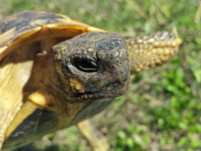 Testudo Hermanni - Serchio River Animal Body Part Animalia Animals In The Wild Close-up Nature Outdoors Reptile Collection Reptile Photography Reptilia Testudines Testudinidae Testudo Turtle Turtle Collection Wildlife Zoology Pet Portraits