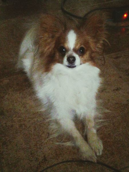 Papillion, Dog, Cute, Precious, Furry