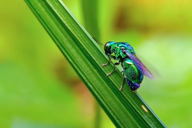 Green Day 😅 Rantauprapat Macro Photography Macro Macro Nature Beauty In Nature Flying #photography #landscape #nature #photography Forest Small Insect Damselfly Leaf Animal Themes Green Color