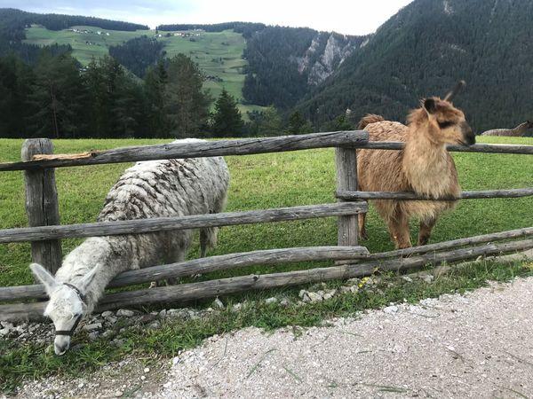 Llama Dolomites, Italy Mammal Animal Themes Animal Vertebrate Domestic Animals Plant Pets Domestic No People Field Group Of Animals Grass