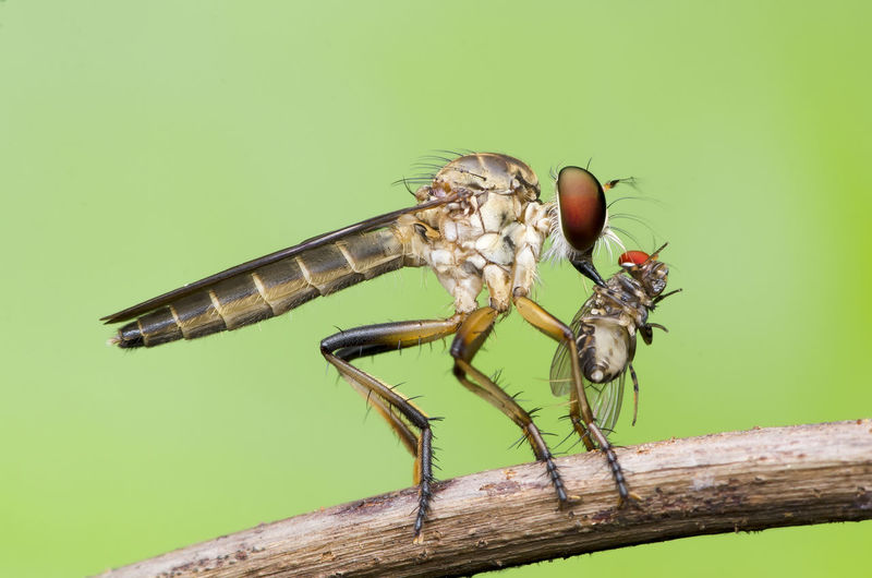 robberfly with