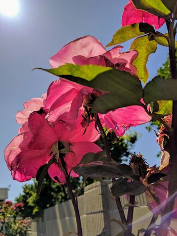 beautiful as is and from behind Afternoon Sun Flower Photography Flowers, Nature And Beauty Eyeem Flowers EyeEm Gallery Flowers,Plants & Garden Pink Color Beauty In Nature Taking Photos Flowerporn From Underneath From Behind Beauty In Nature Pink Roses Refraction Mobile Photography Outdoors Nature Roses Pretty In Pink Low Angle View Sky And Sun Roses🌹 Roses Are Pink