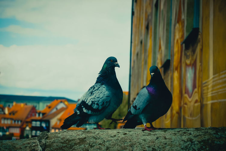 Close-up of pigeons on log by building