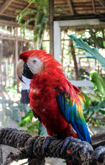 Red blue parrot Blue Yellow Bird Leaves Nature Green BIG Macaw Bird Perching Rainbow Lorikeet Parrot Multi Colored Red Tree Scarlet Macaw Close-up Zoo Parakeet Birdcage Tropical Bird Animals In Captivity Cockatoo Cage