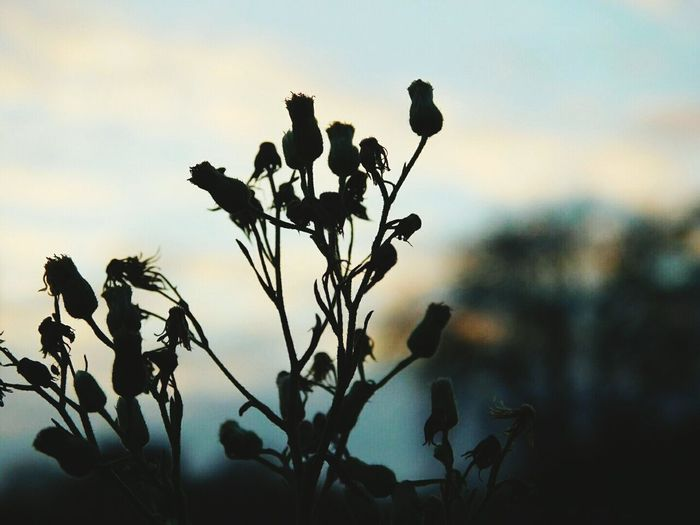 Silhouette Sunset Plant Sky Nature Branch Close-up Landscape Outdoors No People Beauty In Nature Coloursofnature Texture In Nature Eyemnaturelover MyWorldIsColorful My Point Of View Eyemphotography Eyemcaptured Grasses Against Sunset Beauty In Nature Focus On Foreground Eyem Flowers Fragility Nature Flower Head