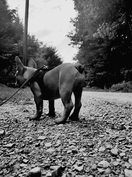 Französische Bulldogge  Welpe Niceass Puppy Bigass Funny Funnyassshit One Animal Domestic Animals Animal Themes Mammal Animal Day Outdoors Standing Pets Full Length No People Nature Tree Sky EyeEmNewHere