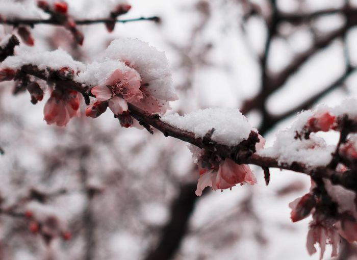 Beauty In Nature Blooming Blossom Snow Snow On Blossoms Tree Branch Winter Wintertime Winterscene Cold