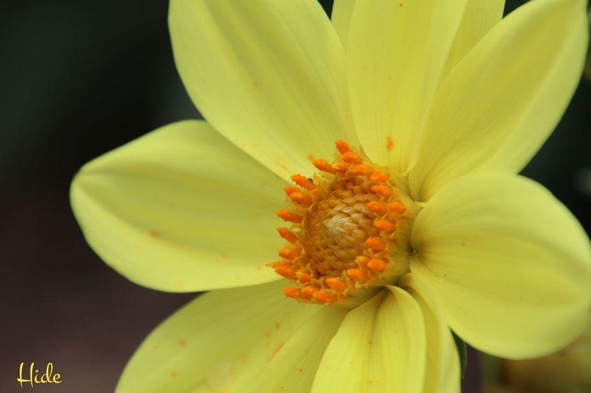 ダリア 花 Flowers 四季彩の丘 Hokkaido 美瑛町