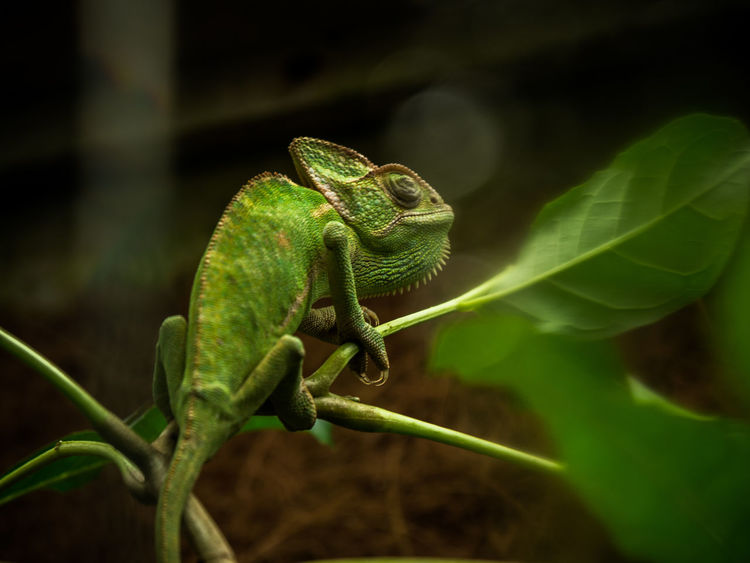 Chamaeleon, unclassified Animal Animal Head  Animal Themes Beauty In Nature Chamaeleon Close-up Green Green Color Nature Outdoors Selective Focus Wildlife