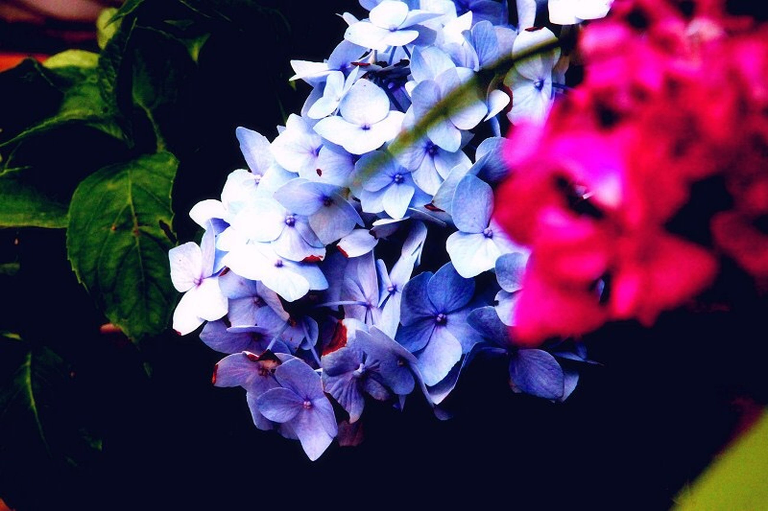 flower, freshness, petal, fragility, growth, beauty in nature, close-up, flower head, nature, plant, blooming, purple, focus on foreground, leaf, bunch of flowers, high angle view, in bloom, no people, selective focus, hydrangea