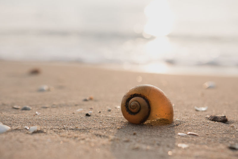 Animal Animal Shell Animal Themes Animal Wildlife Beach Close-up Day Gastropod Invertebrate Land Marine Mollusk Nature No People One Animal Outdoors Sand Sea Selective Focus Shell Snail Spiral Surface Level