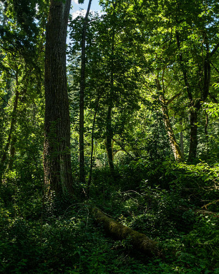 trees in the woods Tree Forest Branch Tree Trunk Lush - Description Lush Foliage Green Color Grass Tree Area
