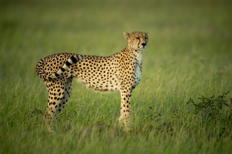 Cheetah stands staring in grass in profile