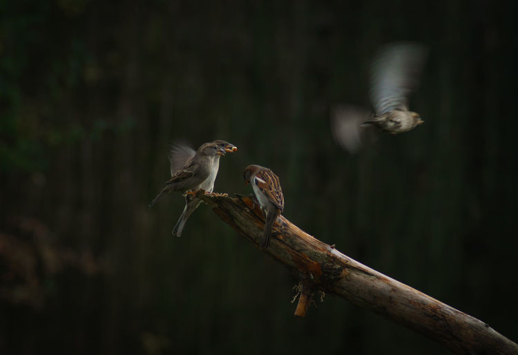Sparrows by branch