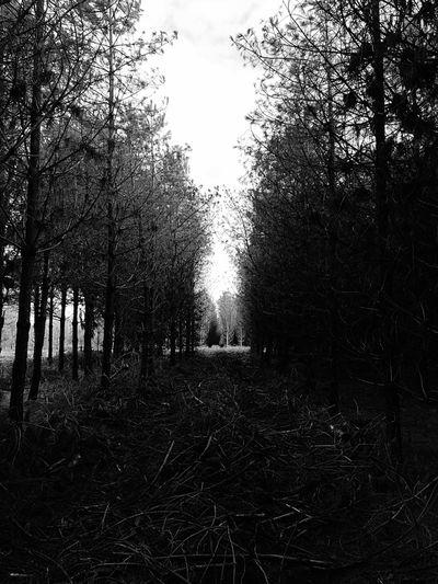 Blackandwhite Trees Roslistonforestrycentre IPhoneography