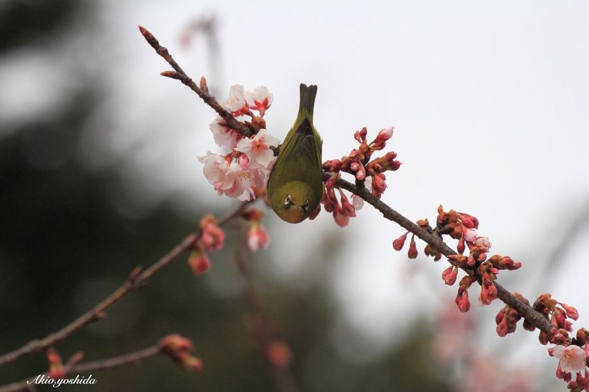 How are you?🌸🐦 White‐eye Bird Cherry Blossoms Bird Photography Flowers Taking Photos EyeEm Nature Lover Popular Photos Nature Photography Tadaa Community Nature_collection Nature Spring Flowers Springtime Spring EyeEm Best Shots - My Best Shot EyeEm Best Shots