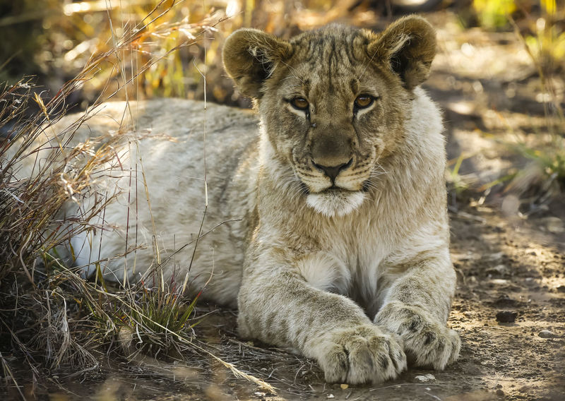 Lion cub looking at the camera Animal Animal Themes Animal Wildlife Animals In The Wild Carnivora Day Feline Focus On Foreground Lion - Feline Lion Cub Looking At Camera Madikwe Mammal No People One Animal Outdoors Portrait