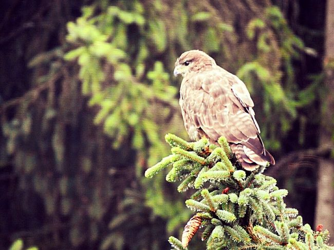 Bird Perching Animal Wildlife Animals In The Wild Nature Pinaceae Tree One Animal Plant Animal Themes Branch No People Pine Tree Beauty In Nature Day Outdoors Close-up Forest Bird Of Prey