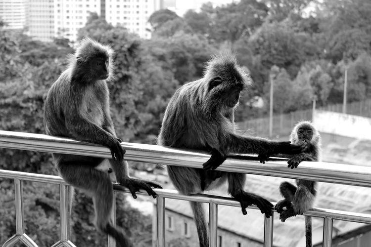 Monkey family sitting on balcony railing