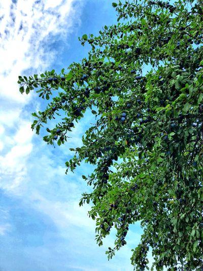 Prunes Fruit Tree