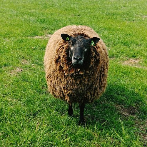 Portrait of sheep on grass