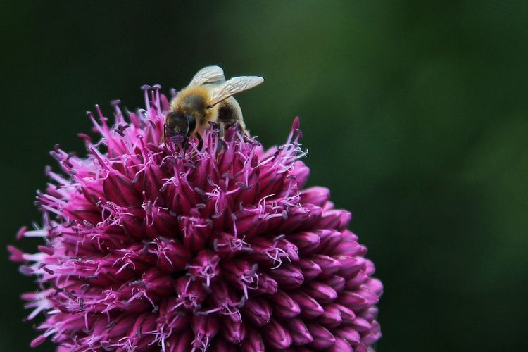 Close-up of bee pollinating on allium flowers