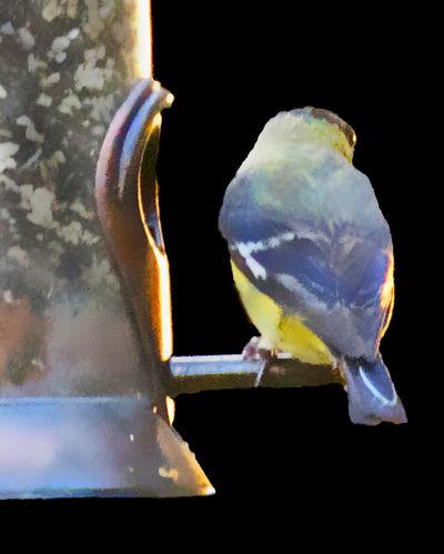 Finch Bird Black Background Close-up Fedder Perching Yellow And Blue Bird