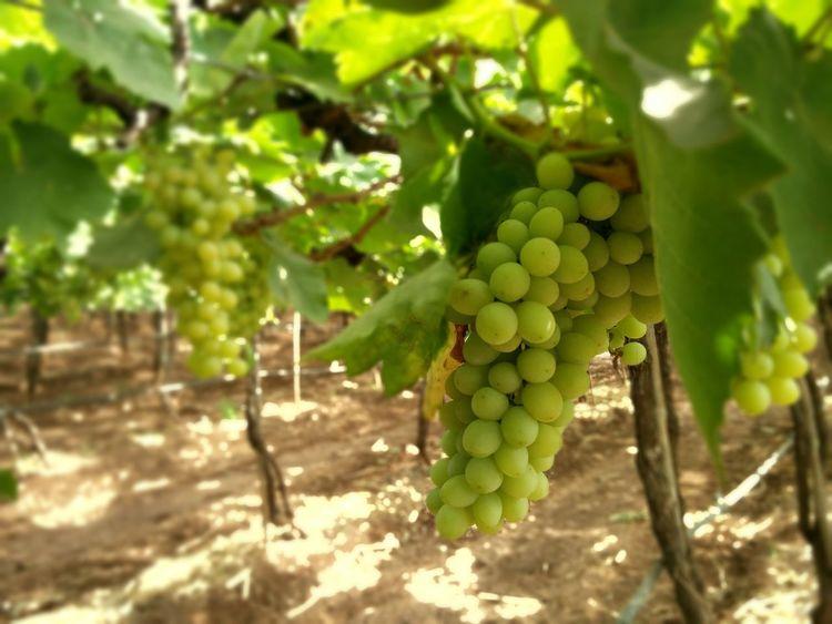 Grapes Farmers Market Farm Fruits Sweet Food EyeEm Best Shots - Nature