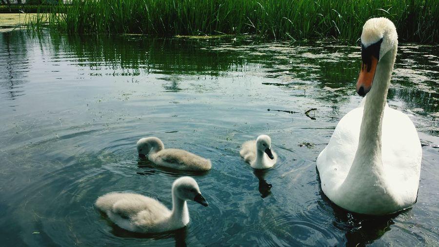 A proud swan