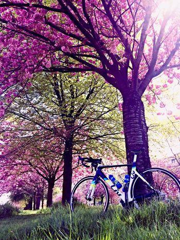 Finally.. Spring! Enjoying The Sun Cycling Cherry Blossom Blossom First Eyeem Photo