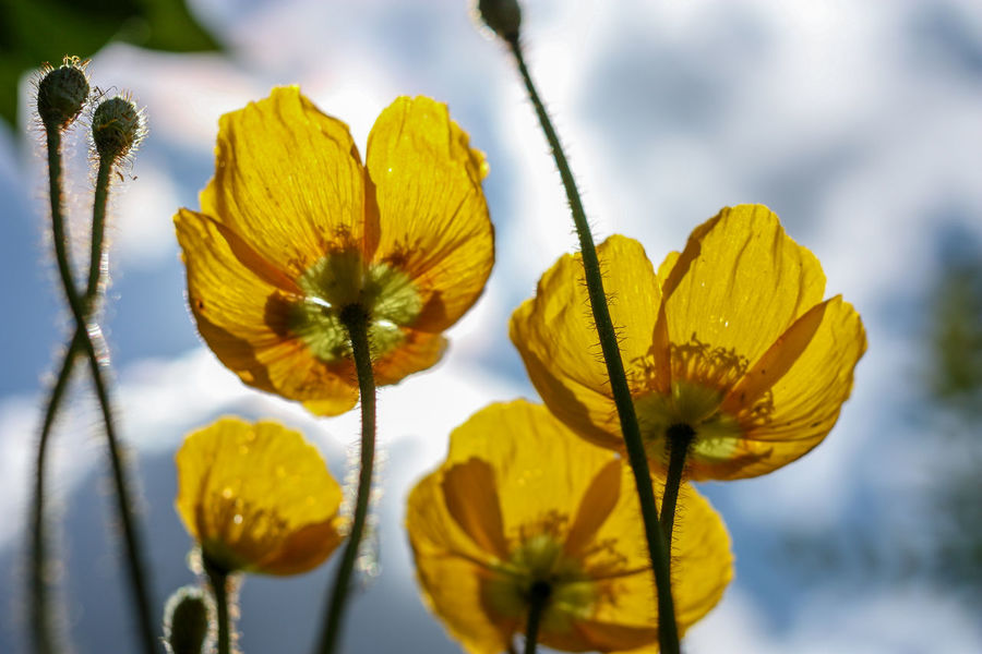 yellow poppy Poppy Poppy Flowers Yellow Poppy Flower Nature Flowering Plant Fragility Sunlight Beauty In Nature