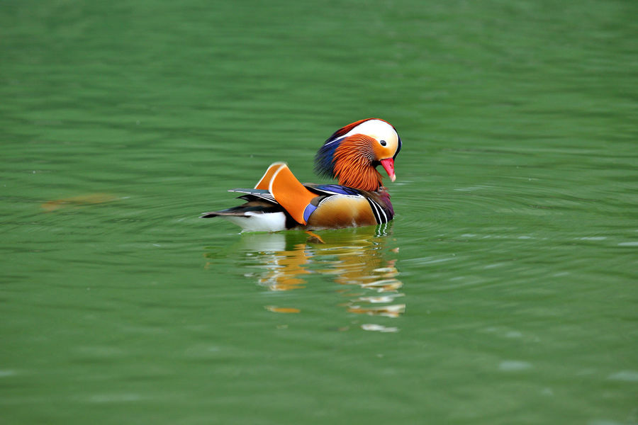 Cute and beautiful mandarin duck, free to play in the water. Laid Back Natural Ecosystems Abundant Animal Themes Animal Wildlife Animals In The Wild Beautiful Feathers Beauty In Nature Bird Birds Color Colorful Day Duck Laid Back Life Lake Mandarin Duck Nature No People One Animal Outdoors Swimming Water Water Bird Waterfront