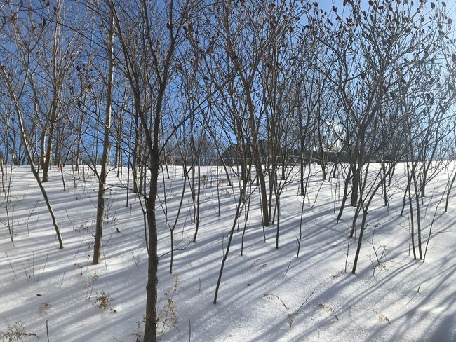 IPhoneography Snow Winter Cold Temperature Bare Tree Tree White Color Tranquility Nature Outdoors Day Landscape