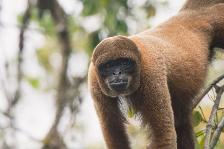 Beautiful woolly monkey located in the Peruvian Amazon around 100 southeast of Iquitos. Amazon Amazon Rainforest Amazon River Animal Themes Animal Wildlife Animals Animals In The Wild Animals In The Wild Close-up Day Mammal Monkey Monkey Business Monkey Face Nature One Animal Outdoors Peru Rainforest Woolly Monkey