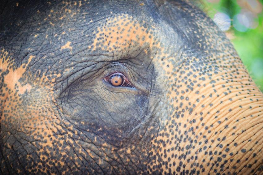 Close up head with sad eye of albino elephant chained. Sad Eyes Albino Albino Elephant Chained Elephant Elephant Eye Elephant ♥ Elephants Sad Eye Sad Eyed Sad Eyes Crying In The Rain