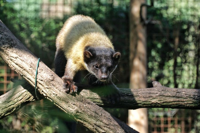 Animals In The Wild Animal Themes One Animal Wildlife Mammal Marten w Willd Animal Zoo Ouwehands Dierentuin Weasel Weaselhead Hunter