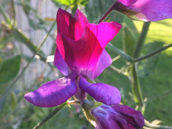 💜❤love was loud as a silent look❤💜 Sweetpea NZ Flower Nature Beauty In Nature Petal Growth Fragility Plant Freshness Pink Color Purple Flower Head Close-up Focus On Foreground Day Sweetpea  Outdoors Blooming Bloom 2017 Summer 2017 Welcome! New Zealand Natural Good Morning! Good Afternoon! Good Evening ♥