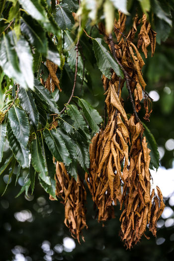 Close-up of dried leaves on tree