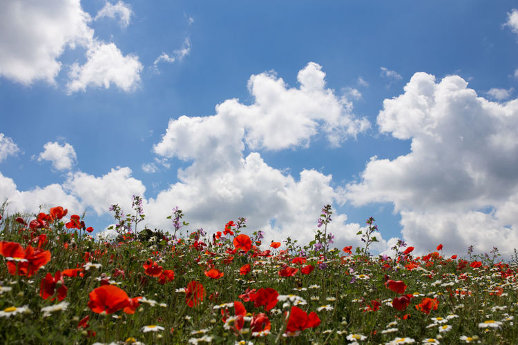 Flower Flowering Plant Beauty In Nature Plant Cloud - Sky Sky Growth Freshness Vulnerability  Fragility Nature Red Day No People Land Field Tranquility Petal Outdoors Inflorescence Flower Head Flowerbed