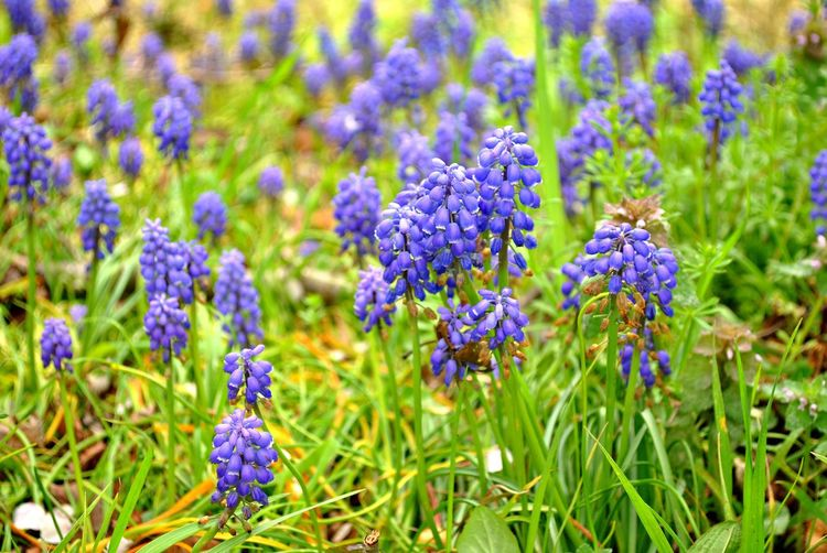 Beauty Beauty In Nature Blue Close-up Day Field Flower Flower Head Fragility Freshness Green Color Growth Muscari Nature No People Outdoors Plant Purple Spring Spring Flowers Springtime The Great Outdoors - 2017 EyeEm Awards