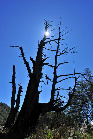 Tall Shenmu, in the forest Couple Tree Shenmu Taiwan Tree YuShan Yushan National Park Animal Themes Beauty In Nature Bird Bird Of Prey Blue Branch Clear Sky Day Dead Tree Dead Wood Landscape Low Angle View Nature No People Outdoors Peaceful Sky Tree Tree Trunk