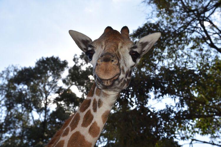 Smile your on camera. Firststep Adventure Girraffe Centre Endagered Species Kenya Wildlife Rothchild Girraffe Giraffe