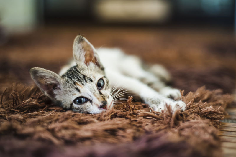 Portrait Of Kitten Relaxing On Carpet
