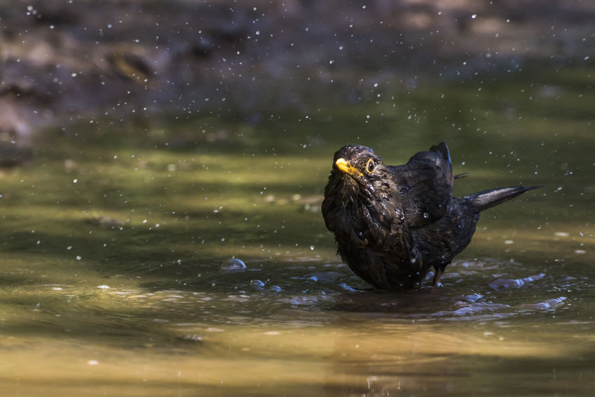A black bird is searching for fodder and water Nature Songbird  Bird Black Blackbird Claws Feather  Feathering Landscape Outdoors Plumage Singing Bird Turdus Merula
