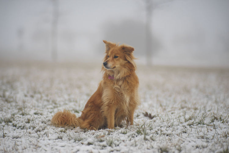 Close-up of dog looking away while sitting on snow covered field
