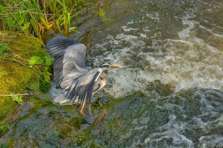 High angle view of gray heron on rock by lake